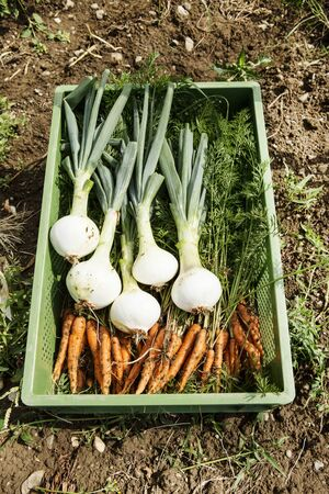 Crate Of Green Onions And Baby Carrots In Organic Farm