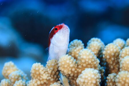 Underwater View Of Paracirrhites Forsteri (Blackside Hawkfish) At Palmerston Atoll, Cook Islands