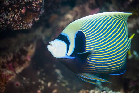 Underwater View Of Pomacanthus Imperator (Emperor Angelfish) Palmerston Atoll, Cook Islands