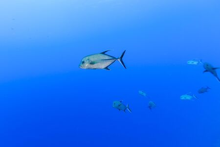 Underwater View Of Caranx Lugubris (Black Trevally) At Palmerston Atoll, Cook Islands