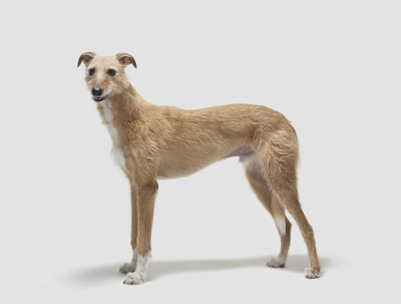 lurcher: Portrait of a lurcher