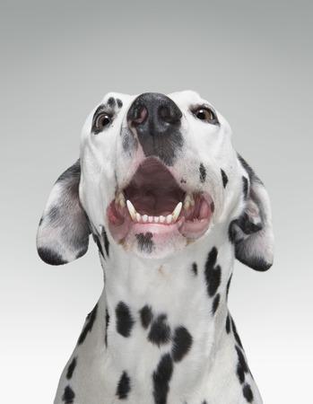 aggressively: Close up of a Dalmatian dog