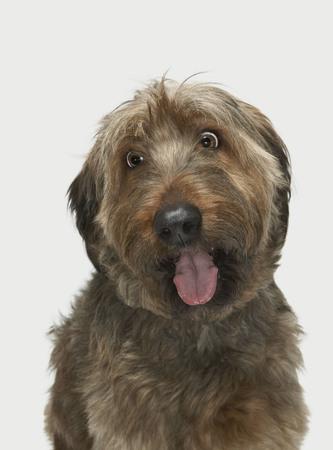 Portrait of Briard dog