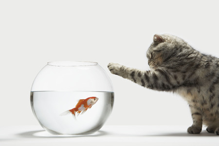 Cat attacking a fish