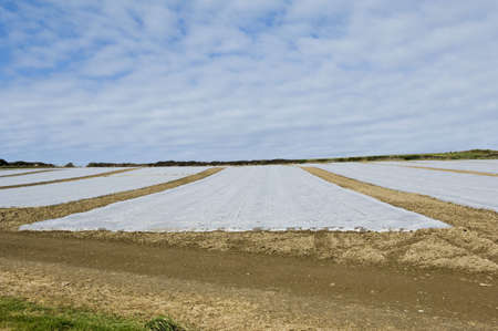 tetbury: Plastic covered crop in field