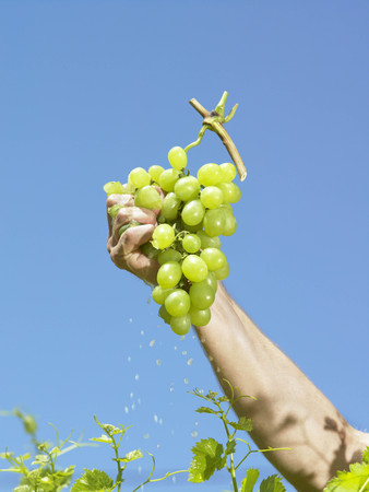 arms lifted up: Hand squeezing grapes