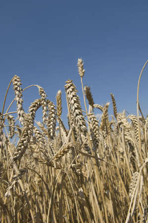 tetbury: Close-up of ripe wheat in field LANG_EVOIMAGES