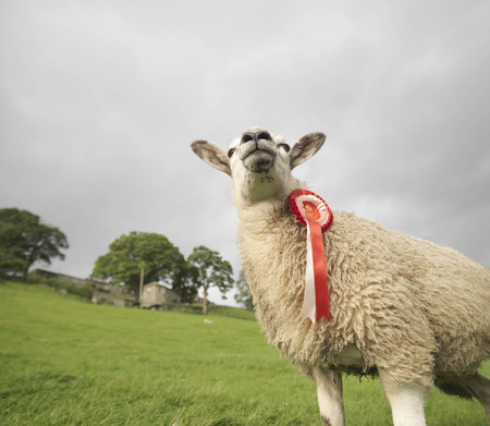 Prize-Winning Sheep With Rosette LANG_EVOIMAGES