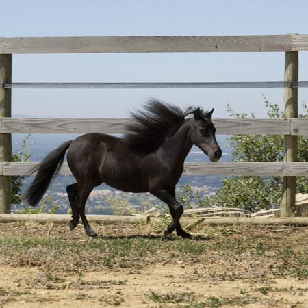 Miniature horse running