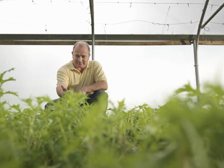 Farmer Crouching In Polytunnel
