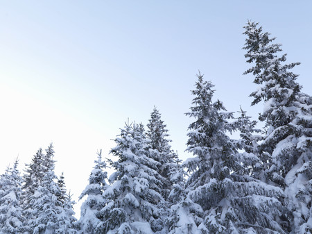 snowed: Snow-covered pine trees