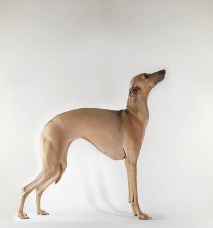 Dog standing on white background