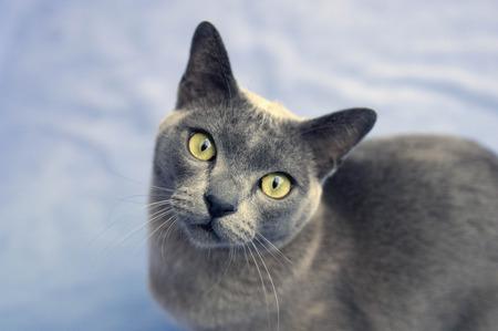 yielded: Burmese cat looking to camera
