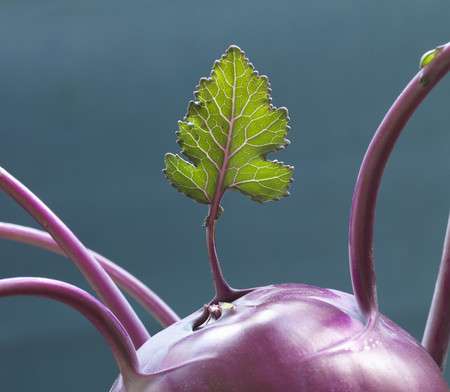 survives: Leaf growing out of purple Kohlrabi LANG_EVOIMAGES