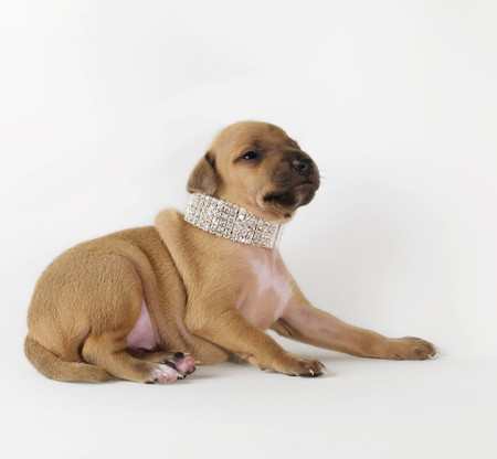 Dog wearing jewelry,  looking up