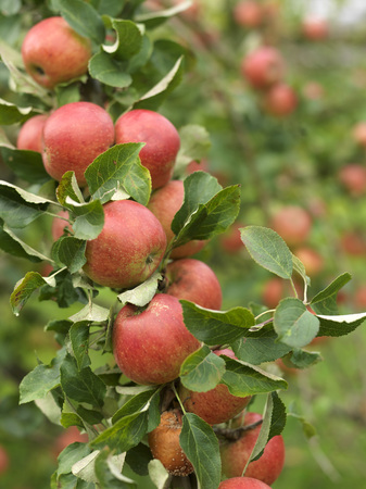 selections: Ripe Apples on tree at harvest time
