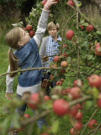 assembled: Girl picking apples while boy watches