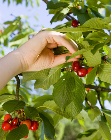 assembled: girl picking cherries from tree LANG_EVOIMAGES