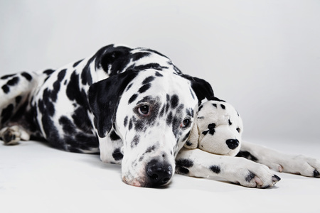 affiliation: Adult Dalmatian with stuffed toy LANG_EVOIMAGES