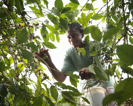 selections: Female Worker Picking Coffee Beans LANG_EVOIMAGES