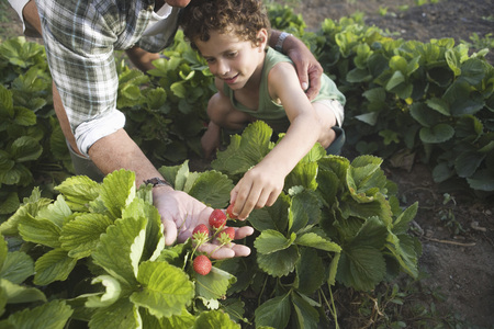 selections: Grandson picking strawberries