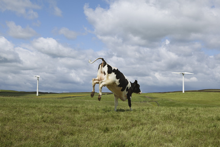 Cow jumping in field LANG_EVOIMAGES