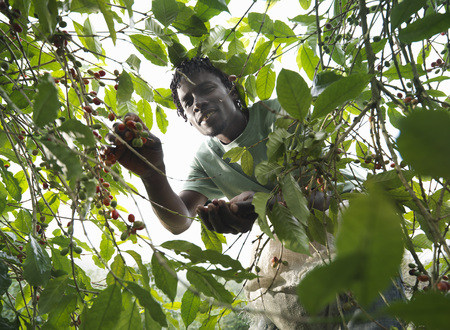 selections: Worker Picking Coffee Beans