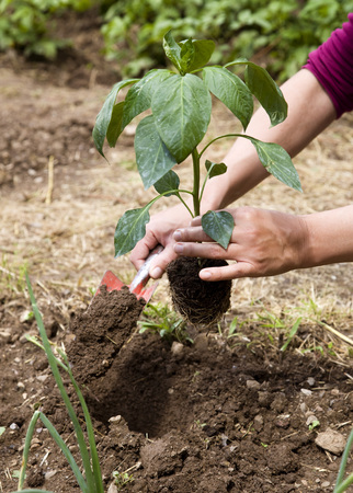 planted: woman planting in garden