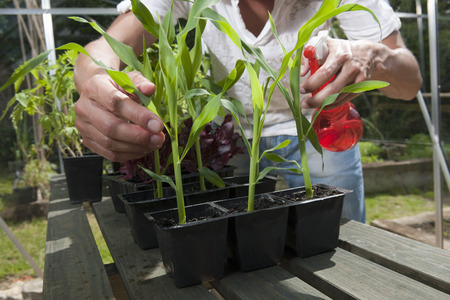 Man in greenhouse spraying plants LANG_EVOIMAGES