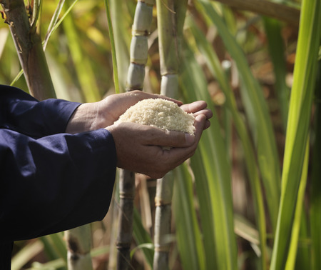 gathers: Hand With Processed Sugar Cane In Field