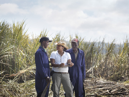 gathers: Workers & Supervisor In Sugar Cane Field