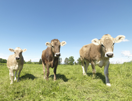 confrontational: Cows in field LANG_EVOIMAGES