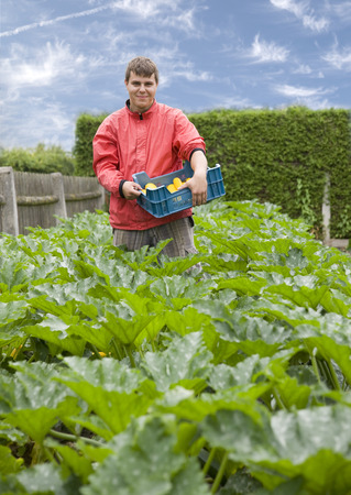man harvesting yellow zucchini LANG_EVOIMAGES