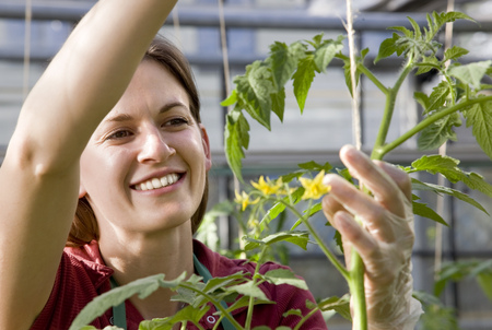 conservatories: woman caring for tomato plant