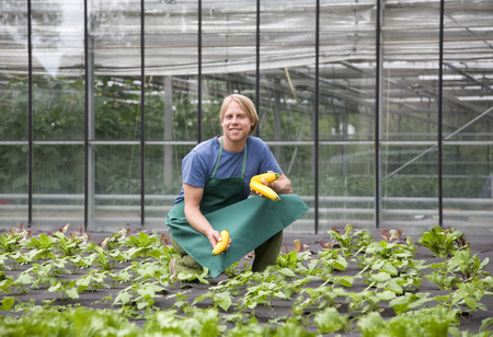 conservatories: man harvesting yellow zucchini LANG_EVOIMAGES