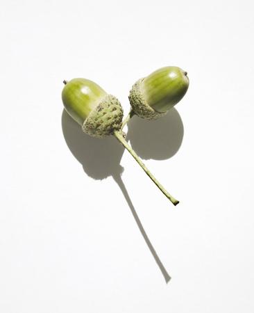 shadowed: Acorns on twig