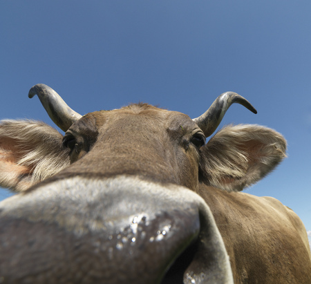 Cow in field, close-up LANG_EVOIMAGES