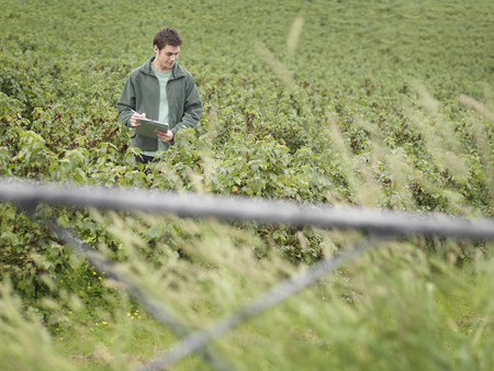 Man Inspecting Blackcurrants In Field LANG_EVOIMAGES