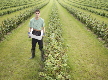 advances: Man With Box Of Harvested Blackcurrants