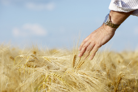 appendages: Hand of a man caressing the wheat field