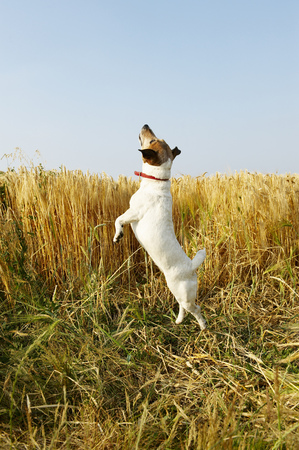 omnivore: Dog jumping in a wheat field