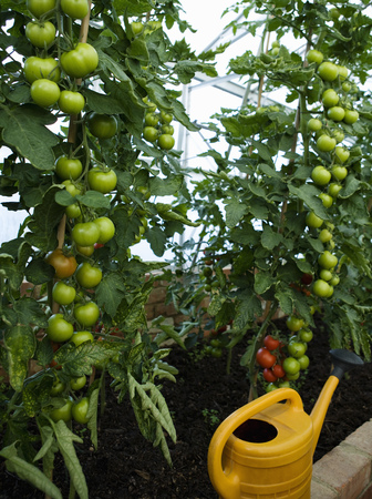 conservatories: A green house containing tomato plants LANG_EVOIMAGES