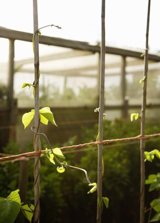 conservatories: Runner bean stems LANG_EVOIMAGES