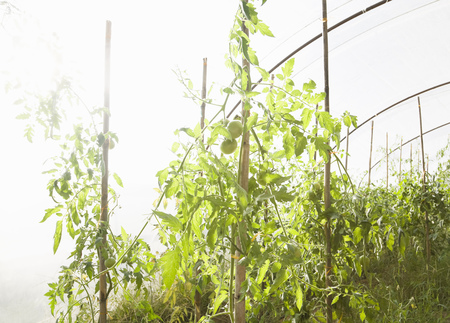 midsummer pole: Tomato Plant in Green house