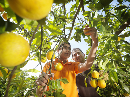 Father and son picking oranges