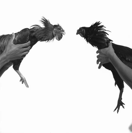 instigation: Cock fighting
