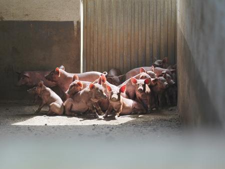 dirtied: Piglets huddled together in pen