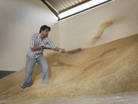 Man shoveling grain in barn