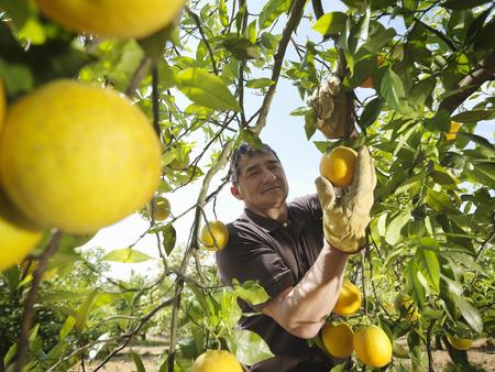 Man picking oranges LANG_EVOIMAGES
