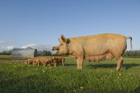 Pig in field LANG_EVOIMAGES